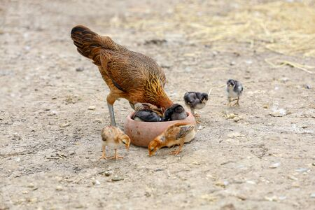 fighting cock and baby cock eat food in farm at thailand Stok Fotoğraf