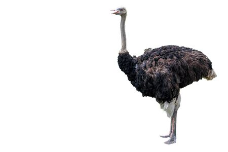 the ostrich on white background have path