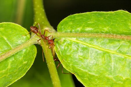 Close up red ant on green laef in nature at thailand