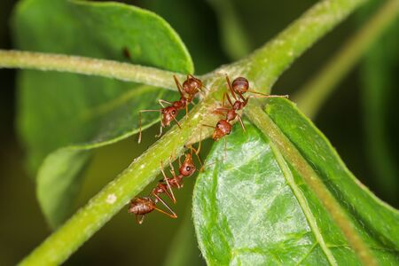 Close up group red ant on green laef in nature at thailand Stock Photo