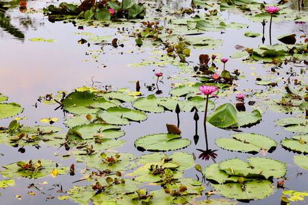 The red lotus flower in the river at thailand
