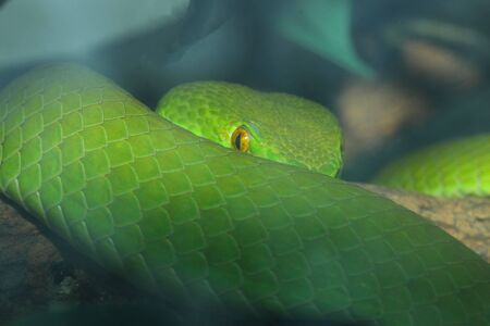Close up green pit viper snake in the garden at thailand