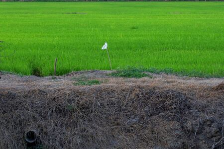 the rice Field in countryside at thailand  写真素材