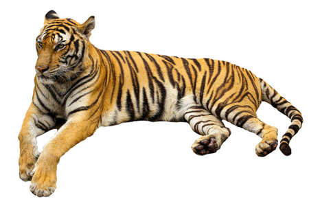 The big Tiger sit down is rest on isolated for wildlife animal in thailand