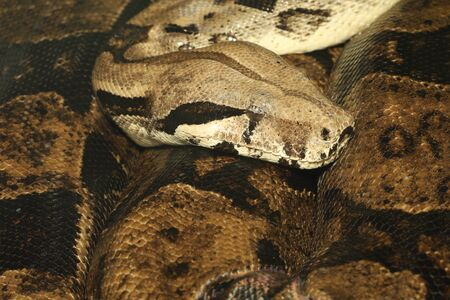 Close up head and body boa constrictor snake is the big snake
