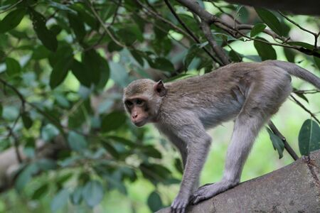 The monkey stop on big branch tree in nature at thailand