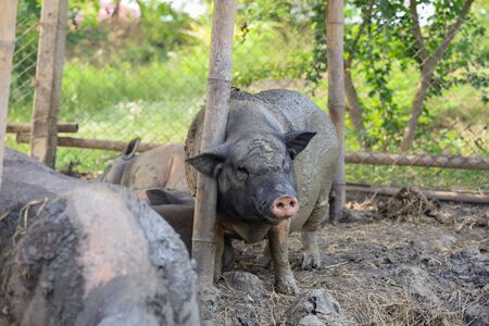 The Pig playing mud look like boar at farm Imagens