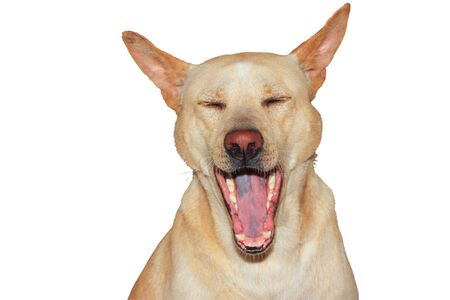 Close up brown thai dog is yawn on white background have path
