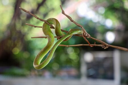 Close up green pit viper snake in the garden on bamboo at thailand