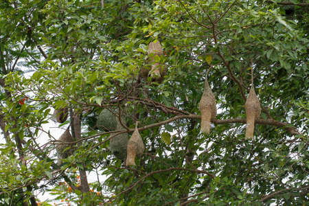 Group nest bird on tree in nature at thailand 스톡 콘텐츠