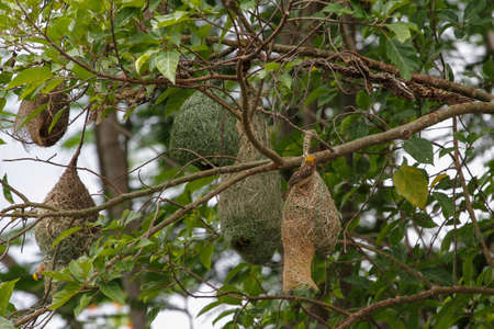 The small bird is build the nest bird on tree in nature at thailand