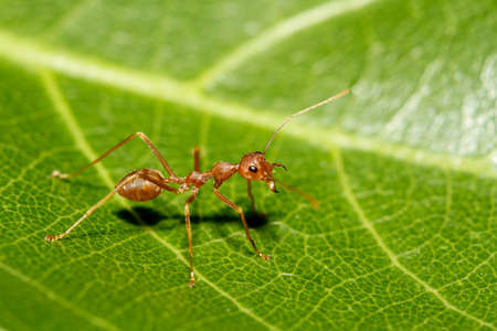 Close up red ant on green leaf in nature at thailand Stock Photo