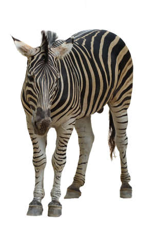 The burchell zebra on white background have path