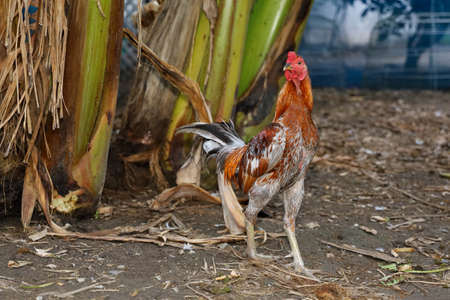 The colorful fighting cock is live in farm at thailand