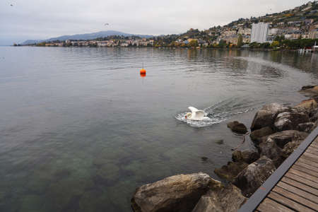White swan is swimming on the river at swiss 写真素材