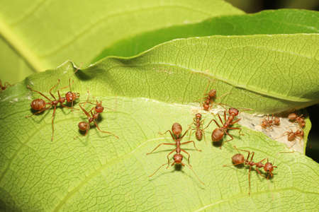 macro red ant on green leaf in nature at thailand