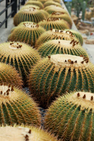 close up big cactus on the rock in garden 写真素材