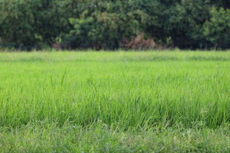 Green rice field and land in countryside at thailand 版權商用圖片