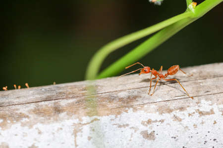 Close up red ant on bamboo dry in nature at thailand