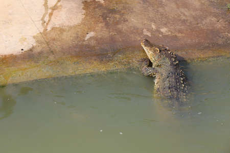 The thai crocodile up from river on canal
