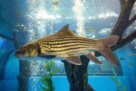 The big Soro Brook Carp fish in water 免版税图像