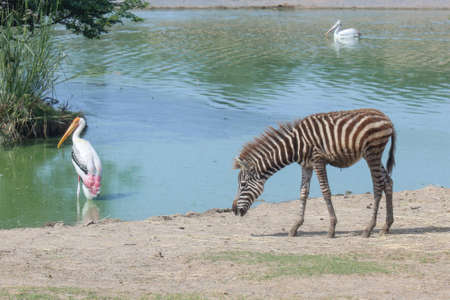 The baby burchell zebra in farm at thailand