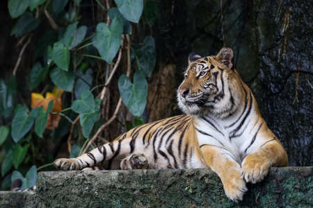 Close up bengal tiger is big animal and dangerous in forest Foto de archivo