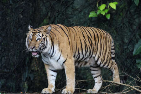 Close up bengal tiger is beautiful animal and dangerous in forest