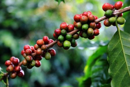 planta de cafe: Los granos de café maduran en un árbol