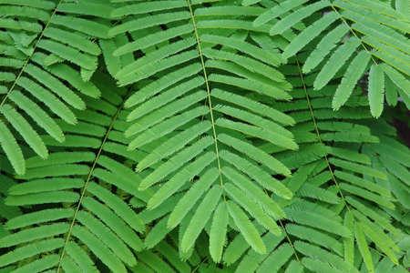 pennata: tree of Acacia pennata  Stock Photo