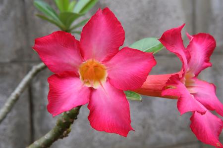 obesum: Adenium obesum Balf,Apocynaceae