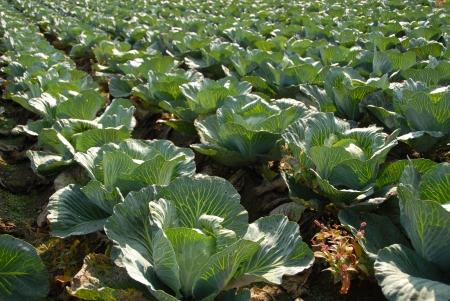 White Cabbage Field Stock Photo