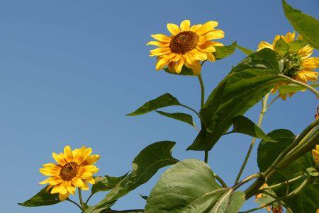 Sunflowers photo