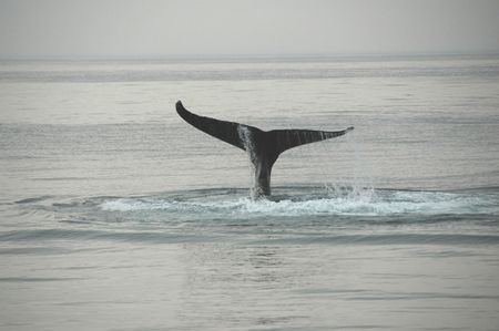whaling: Fin of a humpback whale  Stock Photo