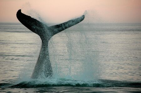 ballena: Aleta de una ballena jorobada
