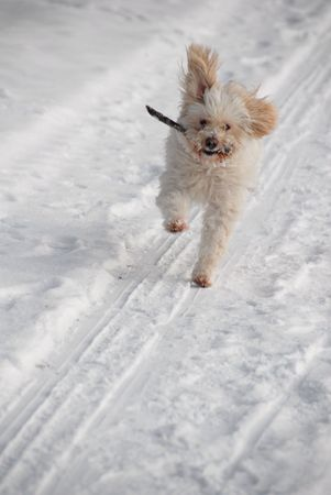 Running Dog with stick in snow Stock Photo