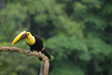 Chestnut-mandibled Toucan photo