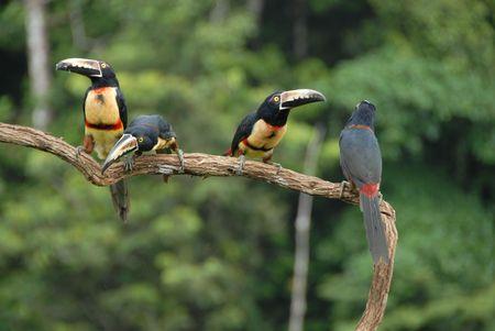 Collared Aracari Stock Photo