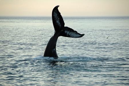 FIN von eine Buckelwal