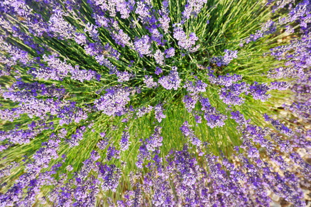 Blooming Lavender in Valensole, France