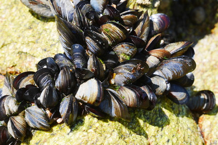 Close up of mussels on a rock