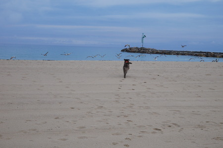 Dog is hunting seagulls at the beach