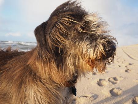 Portrait eines Mischzuchthundes am Strand Standard-Bild - 90697549