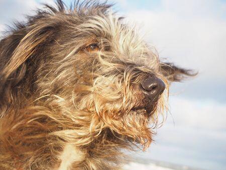 Porträt des langhaarigen Hundes der Mischzucht mit dem Haar und den Ohren, die vom Wind durchbrennen Standard-Bild - 90958792