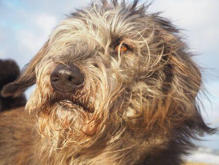 Porträt des langhaarigen Hundes der Mischzucht mit dem Haar und den Ohren, die vom Wind durchbrennen Standard-Bild - 90817737