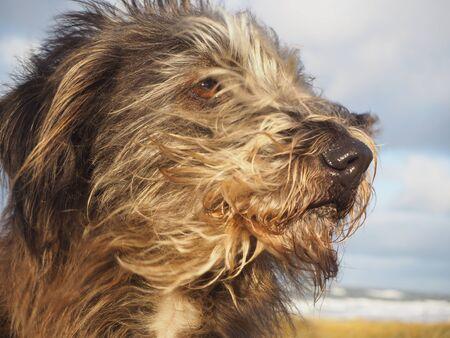 Porträt des langhaarigen Hundes der Mischzucht mit dem Haar und den Ohren, die vom Wind durchbrennen Standard-Bild - 90958793