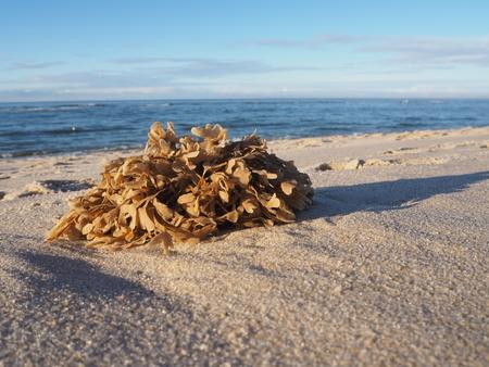 Brown-Meerespflanze am Strand Standard-Bild - 91132742