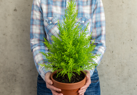 Woman holding a houseplant Cupressus Goldcrest Wilma in her hands against the background of a concrete wall