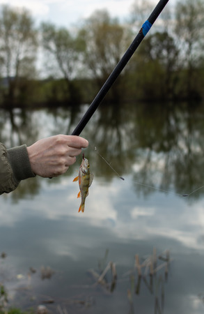 A good catch, a perch on a fishing rod hook