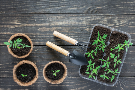 Eco friendly pots with green young seedlings tomato on wooden background, garden trowel and rakes